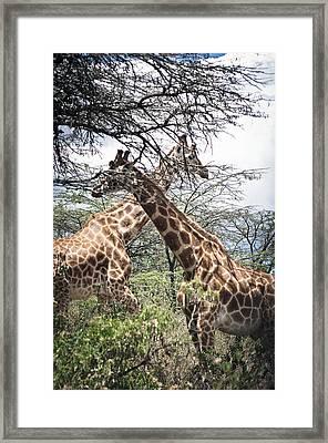 Giraffes In Wild Framed Print by Mesha Zelkovich