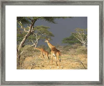 Giraffes Framed Print by Jeff Chase
