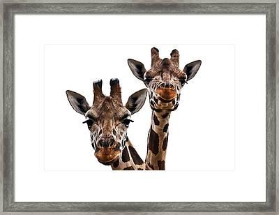 Giraffes  Framed Print by Marcia Colelli
