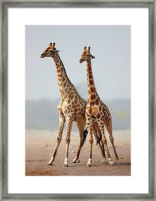 Giraffes Standing Together Framed Print by Johan Swanepoel