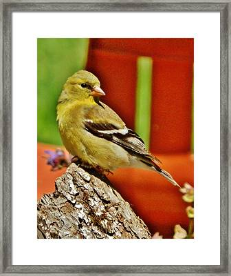 Framed Print featuring the photograph Girlie Goldfinch by VLee Watson
