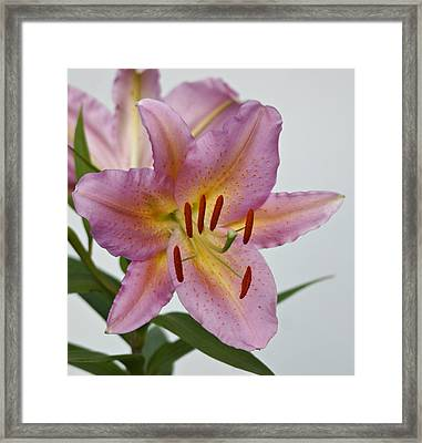 Girosa Lily Framed Print by Sandy Keeton