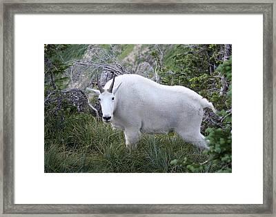 Glacier Goat Framed Print by Carolyn Ardolino