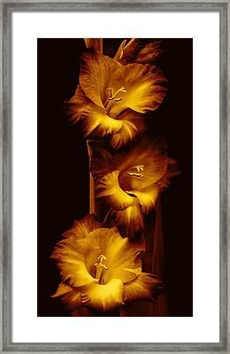 Gladiola Flowers Evening Golden Light  Framed Print by Jennie Marie Schell