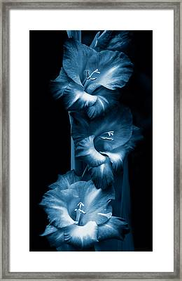 Gladiola Flowers Evening Light In Blue Framed Print by Jennie Marie Schell