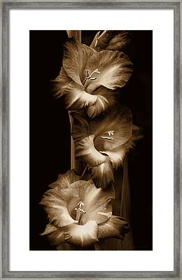 Gladiola Flowers Evening Light In Sepia Framed Print by Jennie Marie Schell