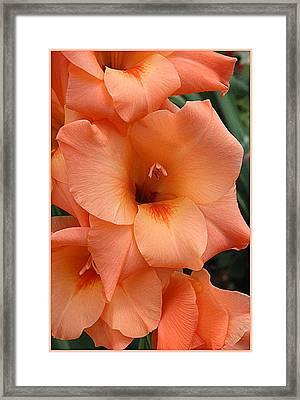 Gladiola In Peach Framed Print