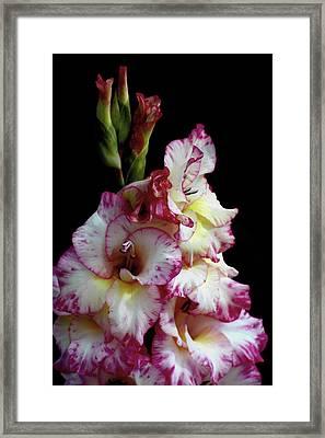 Gladiolas Framed Print by Ernie Echols