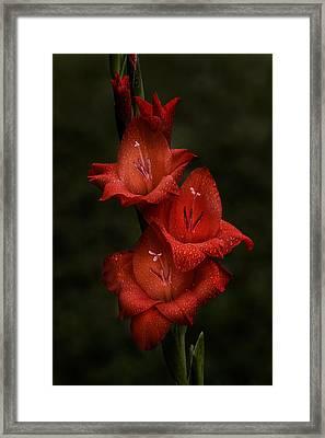 Gladiolus II  Trio Framed Print