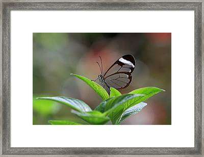 Glasswing Butterfly Framed Print by Juergen Roth