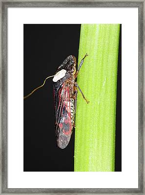 Glassy-winged Sharpshooter Research Framed Print by Stephen Ausmus/us Department Of Agriculture