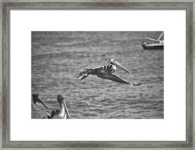 Gliding Bw Framed Print by Joel P Black