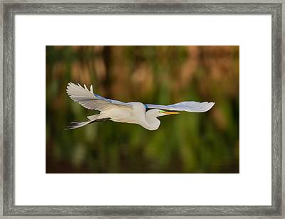 Gliding Great Egret Framed Print by Andres Leon