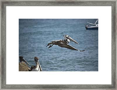 Gliding Framed Print by Joel P Black