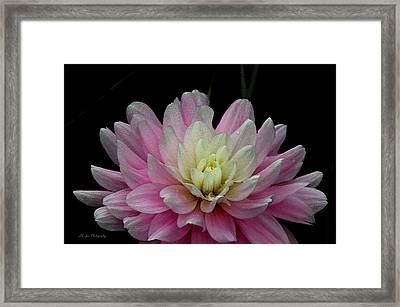 Glistening Dahlia Radiance Framed Print