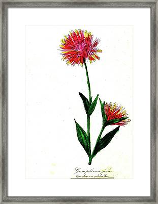 Globe Amaranth Framed Print by Collection Abecasis/science Photo Library