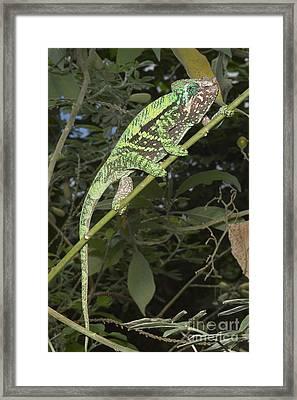 Globe-horned Chameleon Framed Print by Greg Dimijian