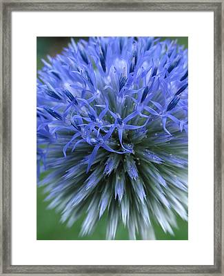Globe Thistle Framed Print by Juergen Roth