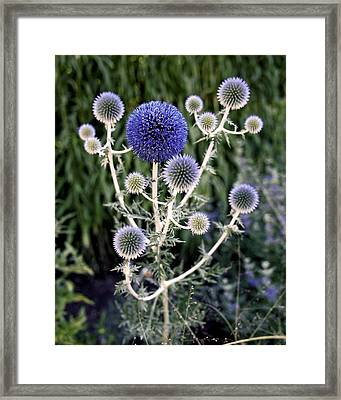 Globe Thistle Framed Print by Rona Black