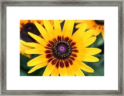 Framed Print featuring the photograph Gloriosa Daisy by Denyse Duhaime