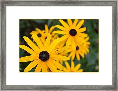 Gloriosa Daisy Framed Print by Sonali Gangane
