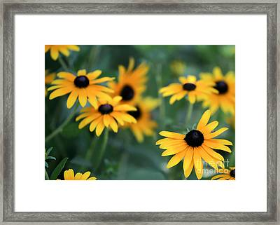 Glorious Garden Of Black Eyed Susans Framed Print by Sabrina L Ryan