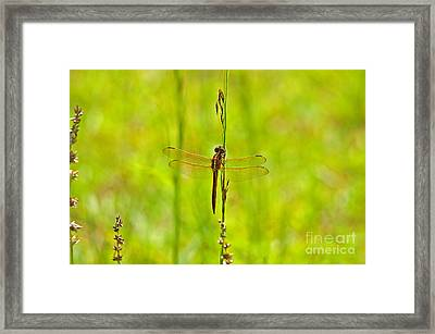Glorious Golden-winged Framed Print