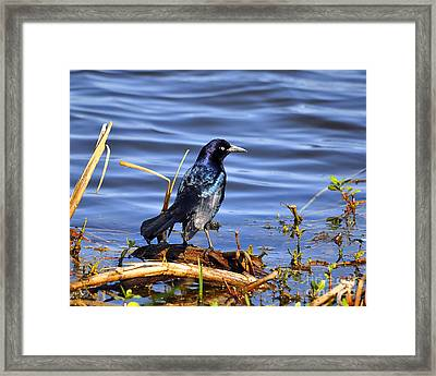 Glorious Grackle Framed Print by Al Powell Photography USA