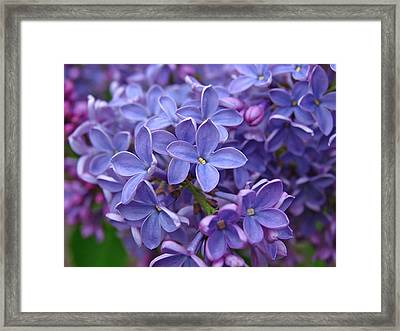 Glorious Lilac Bloom Framed Print by Juergen Roth