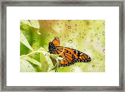 Glorious Monarch 3 Framed Print by Rima Biswas