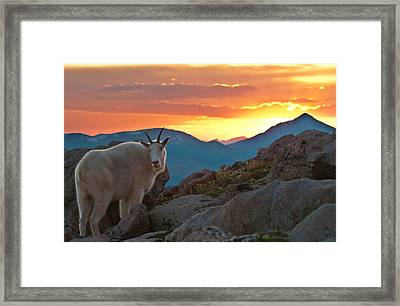 Glorious Mountain Goat Sunset Framed Print by Mike Berenson