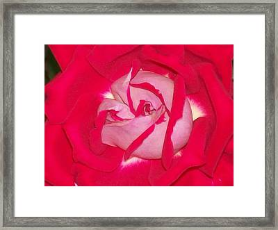 Framed Print featuring the photograph Glorious Red Rose by Belinda Lee