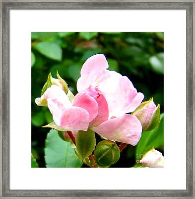 Glorious Rosebud Framed Print