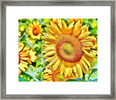 Glorious Sunflowers Framed Print