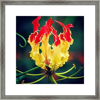 Glory Lily Framed Print