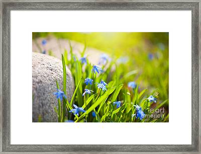 Scilla Siberica Flowerets Named Wood Squill  Framed Print
