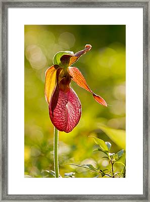Glow Pink Ladys Slipper Orchid Framed Print by Jeff Sinon