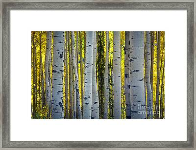 Glowing Aspens Framed Print by Inge Johnsson