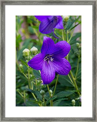 Glowing Balloon Flower Greating The Morning Framed Print by Douglas Barnett