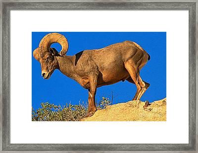 Glowing Big Horn Sheep Framed Print