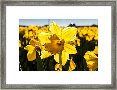 Glowing Daffodil Framed Print