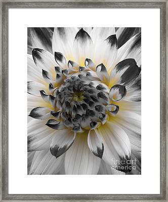 Glowing Dahlia Framed Print by Bob Zuber