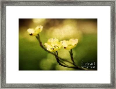 Glowing Dogwood Framed Print by Darren Fisher