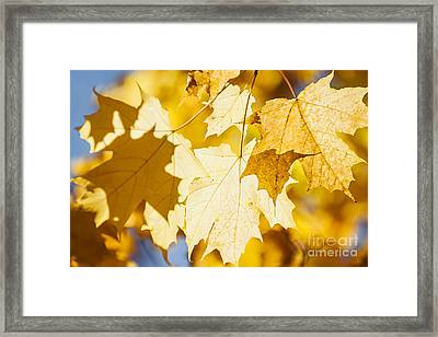 Glowing Fall Maple Leaves Framed Print
