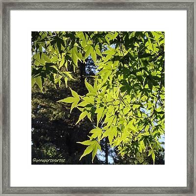 Glowing Greens My Favorite Maple Tree Framed Print