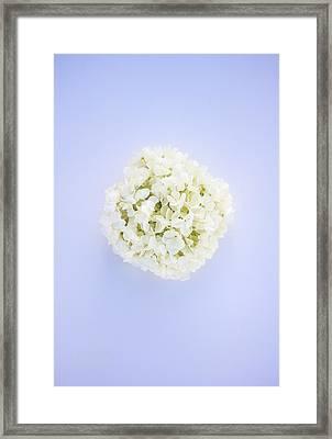 Glowing Hydrangea Framed Print by Parker Cunningham