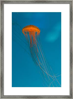Glowing Orange Sea Nettle Framed Print by Scott Campbell