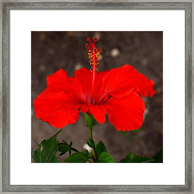 Glowing Red Hibiscus Framed Print