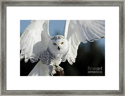 Glowing Snowy Owl In Flight Framed Print by Inspired Nature Photography Fine Art Photography