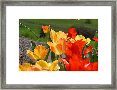 Glowing Sunlit Tulips Art Prints Red Yellow Orange Framed Print by Baslee Troutman